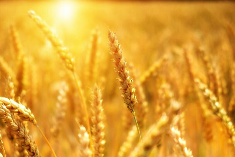 Grain - Field of wheat at golden hour
