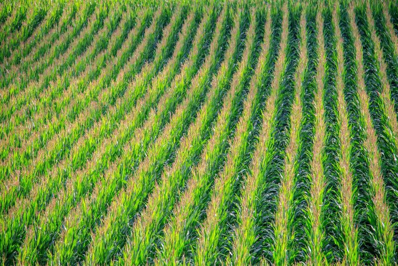 Grain - Large cornfield with rows of crop
