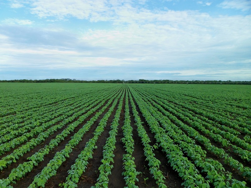 Grain - Large soybean field on a sunny day