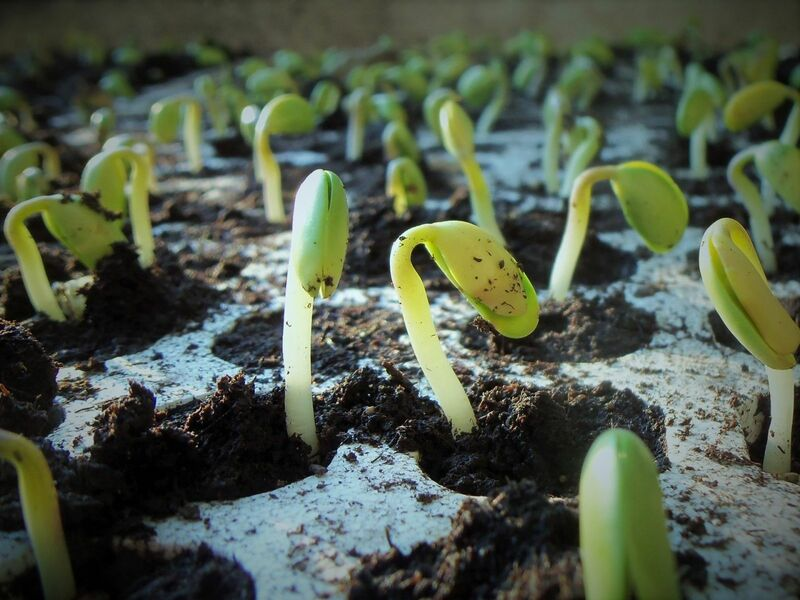 Grain - Soybeans emerging in the spring