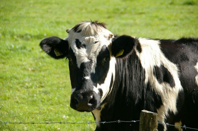 Livestock - Black and White Cow in Field