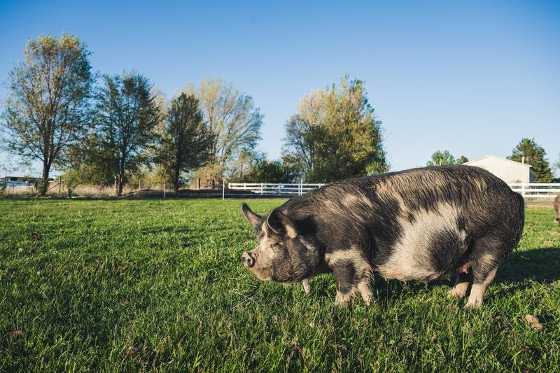 Livestock - Black and brown pig in green pasture
