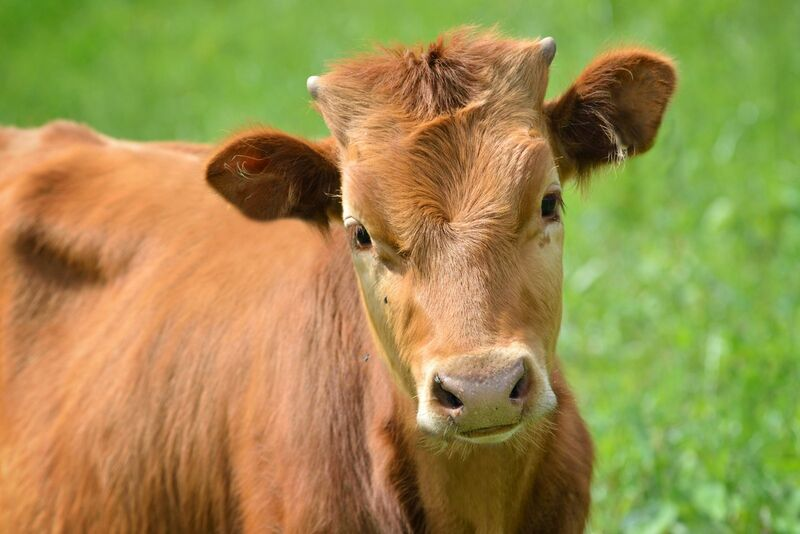 Livestock - Close up of brown cow in pasture