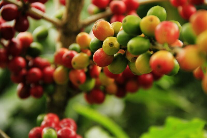 Softs - Coffee Fruit on Branch