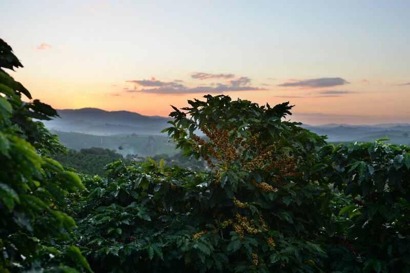 Softs - Growing Coffee Beans on Plantation Sunset